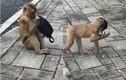 Dân mạng cám cảnh khi COVID-19 khiến loài khỉ cũng học cách đeo khẩu trang