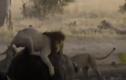 """Video: Trâu rừng một mình """"cân"""" cả bầy sư tử"""