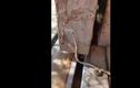 Xác rắn nâu bị treo lên mạng, làm thức ăn dần cho nhện