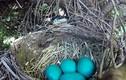 Video: Rắn mò lên tổ nuốt một mạch 4 trứng chim xanh
