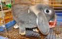 Vì sao giới trẻ Việt phát sốt với thỏ kiểng nhập ngoại?