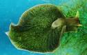 Sên biển có nọc độc ẩn mình, xơi trọn cá trong nháy mắt