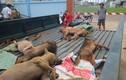 Nghi can trộm 8 con chó tử vong sau khi bị bắt