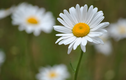 7 loài hoa cấm dâng lên bàn thờ kẻo mất hết Phúc Lộc
