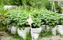 Nông trại 500 giống rau, hoa và thảo mộc giữa lòng Berlin
