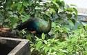 Chim công lớn bay lạc vào nhà dân ở Sài Gòn