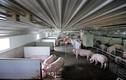 Trang trại hạnh phúc cho những con lợn nái