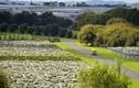 Xanh ngắt cánh đồng nho khổng lồ đẹp mê hồn ở New Zealand