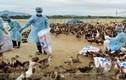 Clip xuất hiện virus cúm mới độc lực cao ở Hà Tĩnh