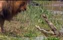 Clip cá sấu cũng phải run sợ, nhường bước sư tử