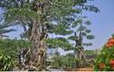Ngắm 2 cây khế giá 7 tỷ đồng ở Sài Gòn