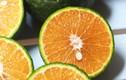 Chọn cam cứ nhìn vào 1 điểm trên vỏ là nhắm trúng cam sành ngọt- ngon, nhiều nước