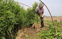Bỏ phố về quê trồng thứ gia vị ai cũng biết mà đủ tiền tậu nhà