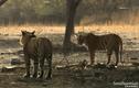 Video: Xem hổ đực bám theo tán tỉnh con cái