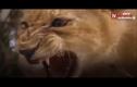 Video: Sư tử con yếu ớt lật kèo, xơi tái trăn khủng