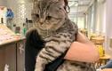 Lên mạng hỏi cách giảm cân cho mèo cưng, nhìn xong ai cũng bó tay bất lực