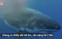 Video: Xem cá mập trắng truy sát, xé thịt hải cẩu giữa đại dương