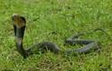 Chồng dùng rắn hổ mang giết chết vợ vì sợ mất của hồi môn lớn