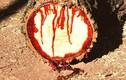 Kỳ lạ những loài cây chảy máu như động vật