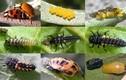 Câu chuyện đáng kinh ngạc về vòng đời bọ rùa