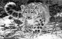 Khám phá thú vị về loài báo tuyết ít ai ngờ