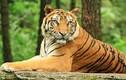 Những điều ít biết về loài hổ gây tò mò