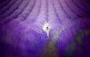 Bộ ảnh tuyệt đẹp của cún cưng bên hoa oải hương