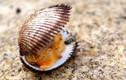 Khám phá thú vị về con sò lông