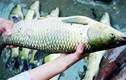 Khám phá thú vị về những con cá trắm cỏ quen thuộc