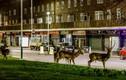 Kỳ lạ đàn hươu rừng thản nhiên dạo phố đêm ở London