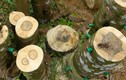 Tiết lộ sự thật ít người biết về cây gỗ quý trầm hương