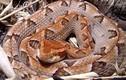 Điều ít biết về rắn chàm quạp có độc của Việt Nam
