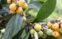 Khám phá về cây tỳ bà, đặc sản Lào Cai, Lạng Sơn