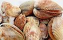 Điều ít người biết về sò dương, đặc sản Ninh Thuận