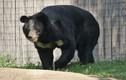 Điều ít biết về loài gấu ngựa hung hăng nhưng dễ tổn thương