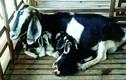 Khám phá dê Bách Thảo cho nhiều thịt, sữa ở VN