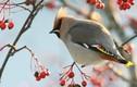 Điều kỳ thú về loài chim hoàng liên tước đẹp kiêu sa hiếm thấy