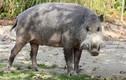 """Độc đáo lợn có râu xồm xoàm phủ kín mõm như """"quý ngài"""""""