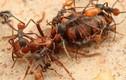 """Chân dung loài kiến nguy hiểm, mệnh danh """"loài kiến đẫm máu"""""""