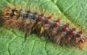 Hãi hùng loài sâu đáng sợ, có hơn 60.000 sợi lông chứa độc