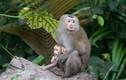 Khỉ có đuôi như lợn, quý hiếm ở VN có gì thú vị?