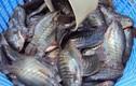 Khám phá thú vị về cá sặc rằn bản địa của ĐBSCL