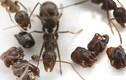 """Loài kiến """"ác ma"""" có cách trang trí tổ gây rùng mình"""