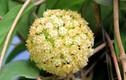 Sự thật ít ai biết về giống lan cẩm cù tuyệt đẹp của VN