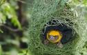 """Khám phá """"choáng"""" loài chim khéo léo và chăm chỉ bậc nhất"""