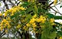 Khám phá choáng loài cây có quả trông hệt đĩa bay ở VN