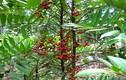 """Sự thực """"choáng"""" về cây mật nhân quý hiếm mọc nhiều ở VN"""
