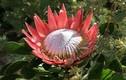 Khám phá thú vị loài hoa Protea - quốc hoa xứ Nam Phi