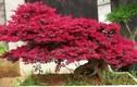 Khám phá hoa kiểng hồng phụng đẹp mắt, ưa chuộng ở VN