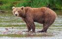 Sự thật ít người biết về gấu nâu Viễn Đông khổng lồ